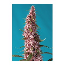 RED PURE AUTO CBD® SWEET SEEDS