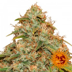 CBD Lemon Potion Auto Barney´s Farm