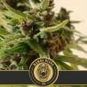 Auto Mamba Negra  CBD 3 u. fem. Blimburn Seeds
