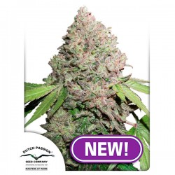Auto CBD Charlotte´s Angel 1 u. fem. Dutch Passion