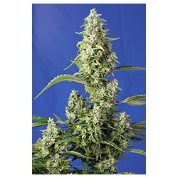 Gorilla Girl XL Auto® Sweet Seeds