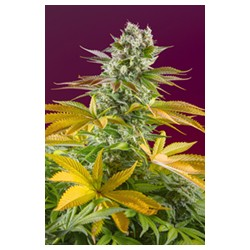 Gorilla Girl F1 Fast Version® Sweet Seeds
