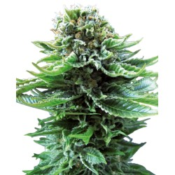 Northern Lights Automatic 5 uds Sensi Seeds