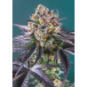 Red Strawberry Banana Auto® Sweet Seeds