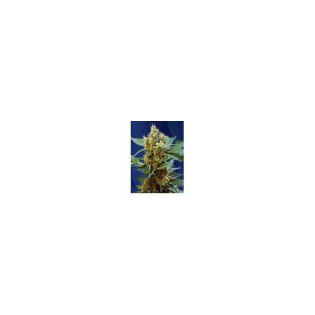 CREAM MANDARINE XL AUTO® OFERTA 20 ANIVERSARIO TIJUANA GROW SHOP