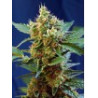 CREAM MANDARINE XL AUTO®SWEET SEEDS OFERTA 20 ANIVERSARIO TIJUANA GROW SHOP