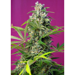 GORILLA GIRL SWEET SEEDS OFERTA 20 ANIVERSARIO TIJUANA GROW SHOP