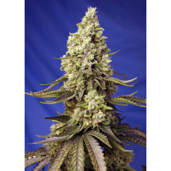Runtz XL Auto® SWEET SEEDS