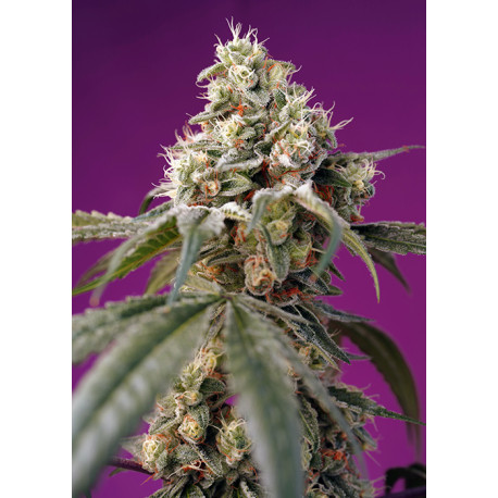 Bruce Banner Auto® SWEET SEEDS